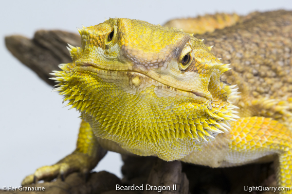 Bearded Dragon [002] II by Per Granaune
