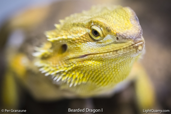 Bearded Dragon [001] I by Per Granaune